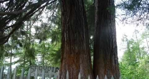 Arborele Seqoia
